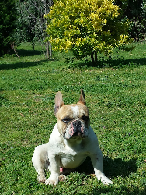 bulldog-frances-en-chile-viña-del-mar-criadero-otterstein