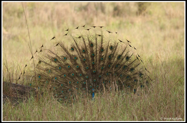 Peafowl Dance to impress his Partner at Kanha National Park