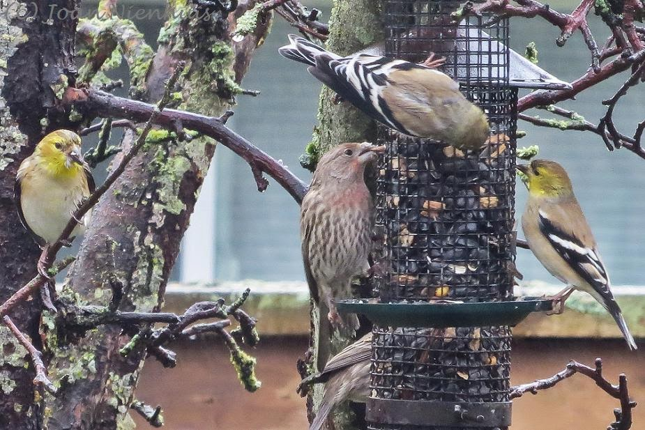 Pacific Northwest Photography: Backyard Birds: Goldfinches ...