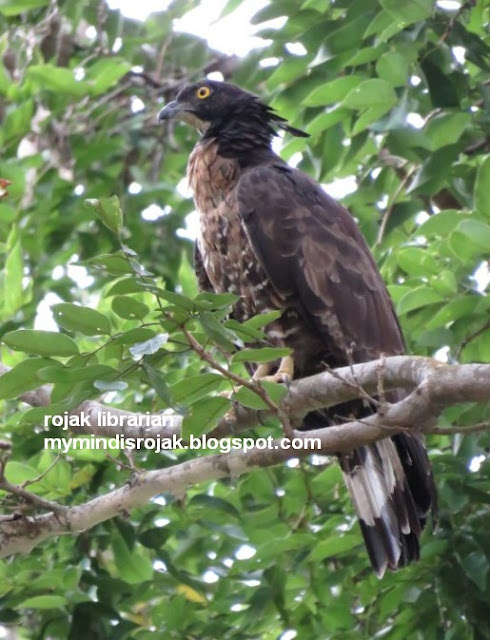 Oriental Honey Buzzard (torquatus race, tweedale morph)