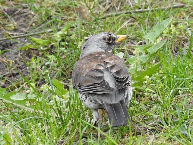 Kwiczoł to ptak, który chętnie pozuje do zdjęć.