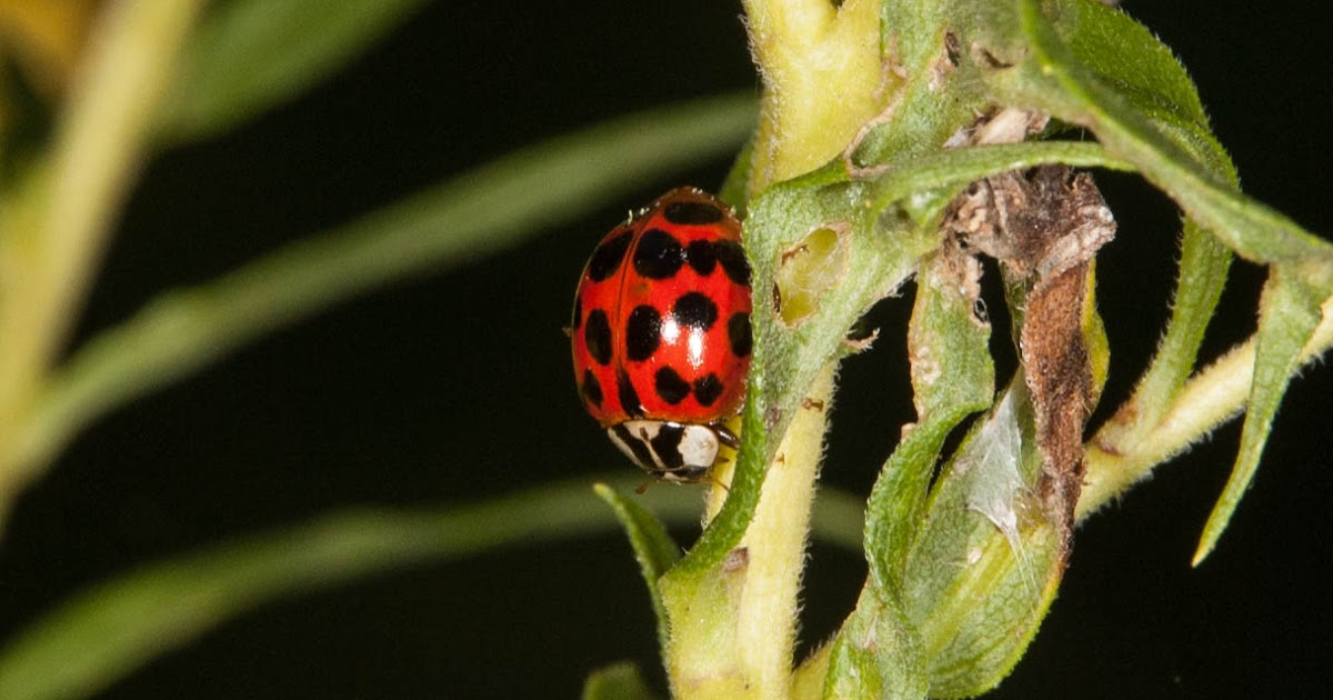 Girls nude asian ladybug genus species name porn