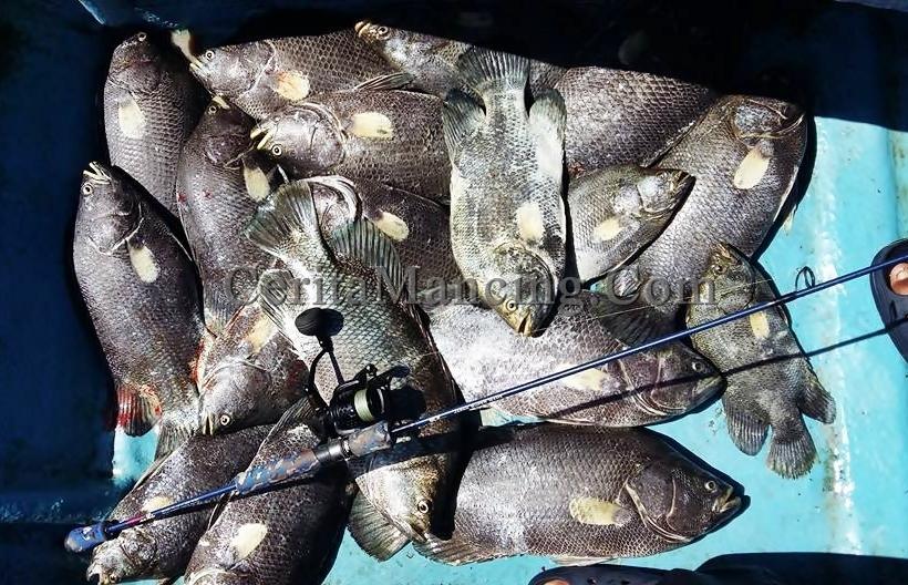 Mancing Ikan Kakap Hitam Monster Mantab