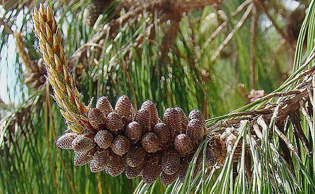 Pino llorón Pinus patula