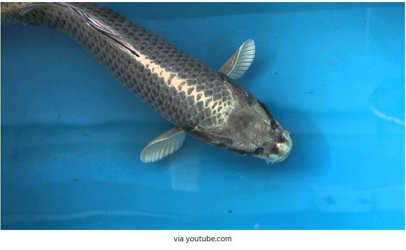 Jenis-Jenis Ikan Koi Kabuto Ogon