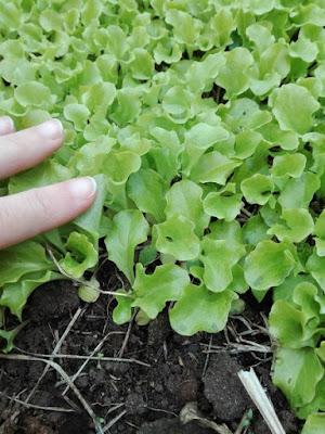 Orto biologico: lattughe seminate a spaglio