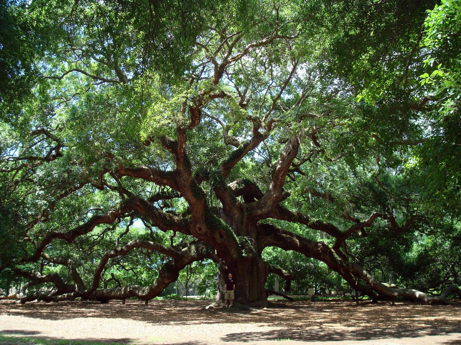 Manage Live Oak - Plant and Grow a Live Oak