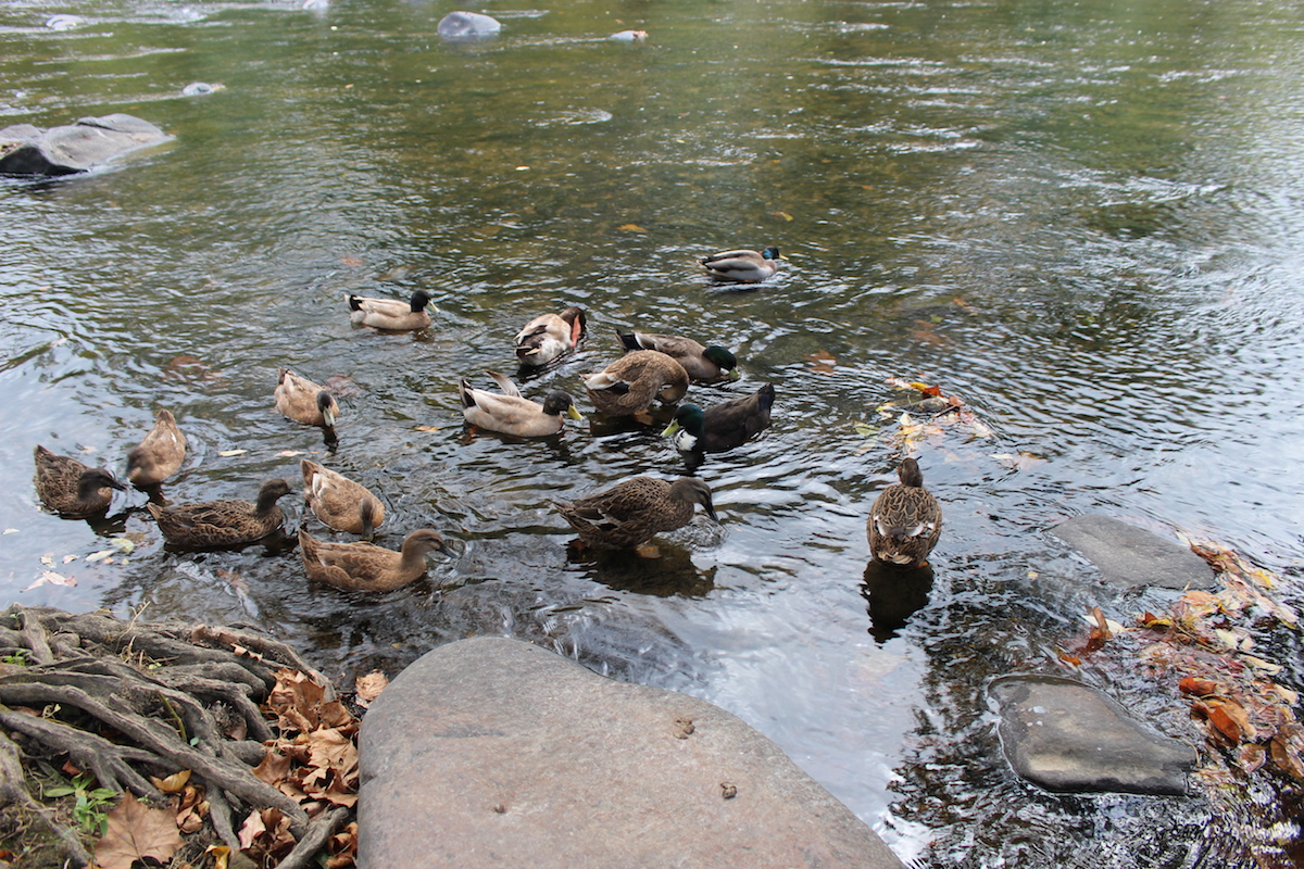 This is a photo of a plethora of ducks floating down the river.