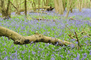 Bluebells at Waresley Wood, Cambridgeshire