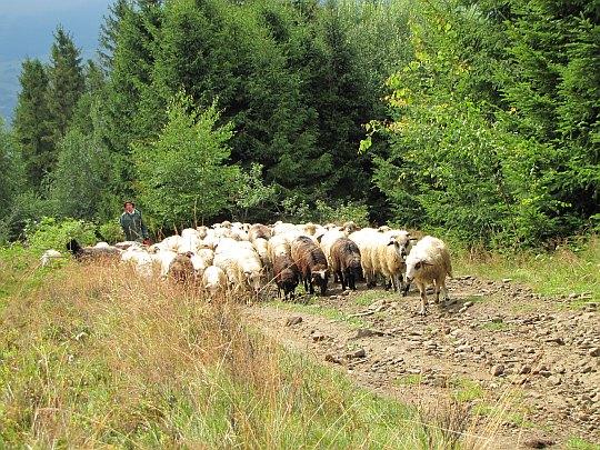 Abrahamów. Przepęd owiec.