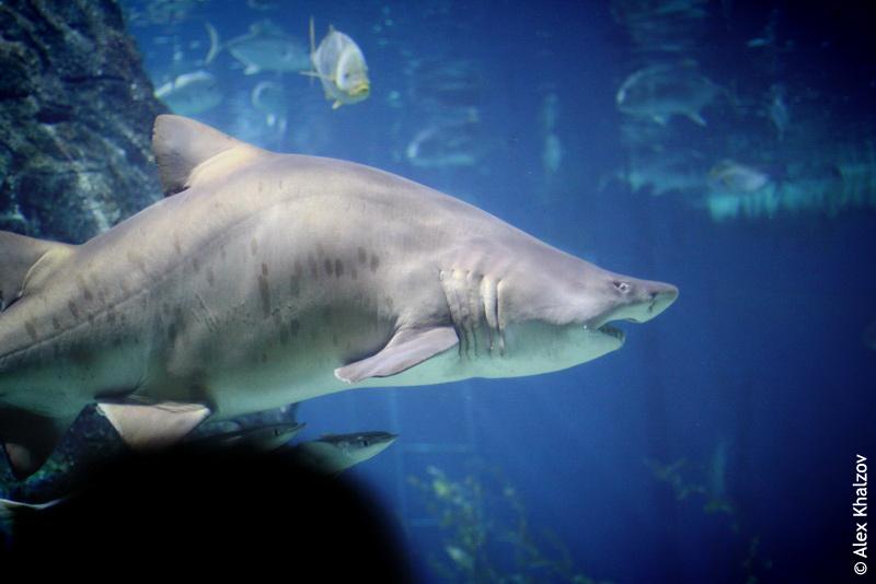 нелепая акула