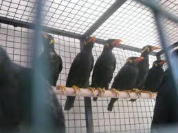 Jual Murai Batu Medan Online Jual Burung Beo