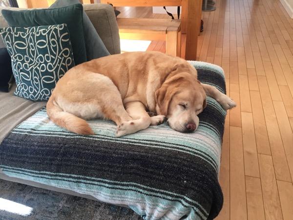 Labrador Cooper asleep