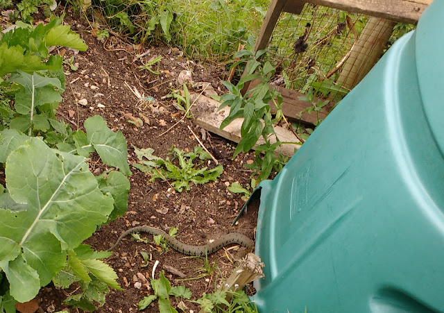 grass snake living on the allotment