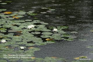 雨の睡蓮池の写真