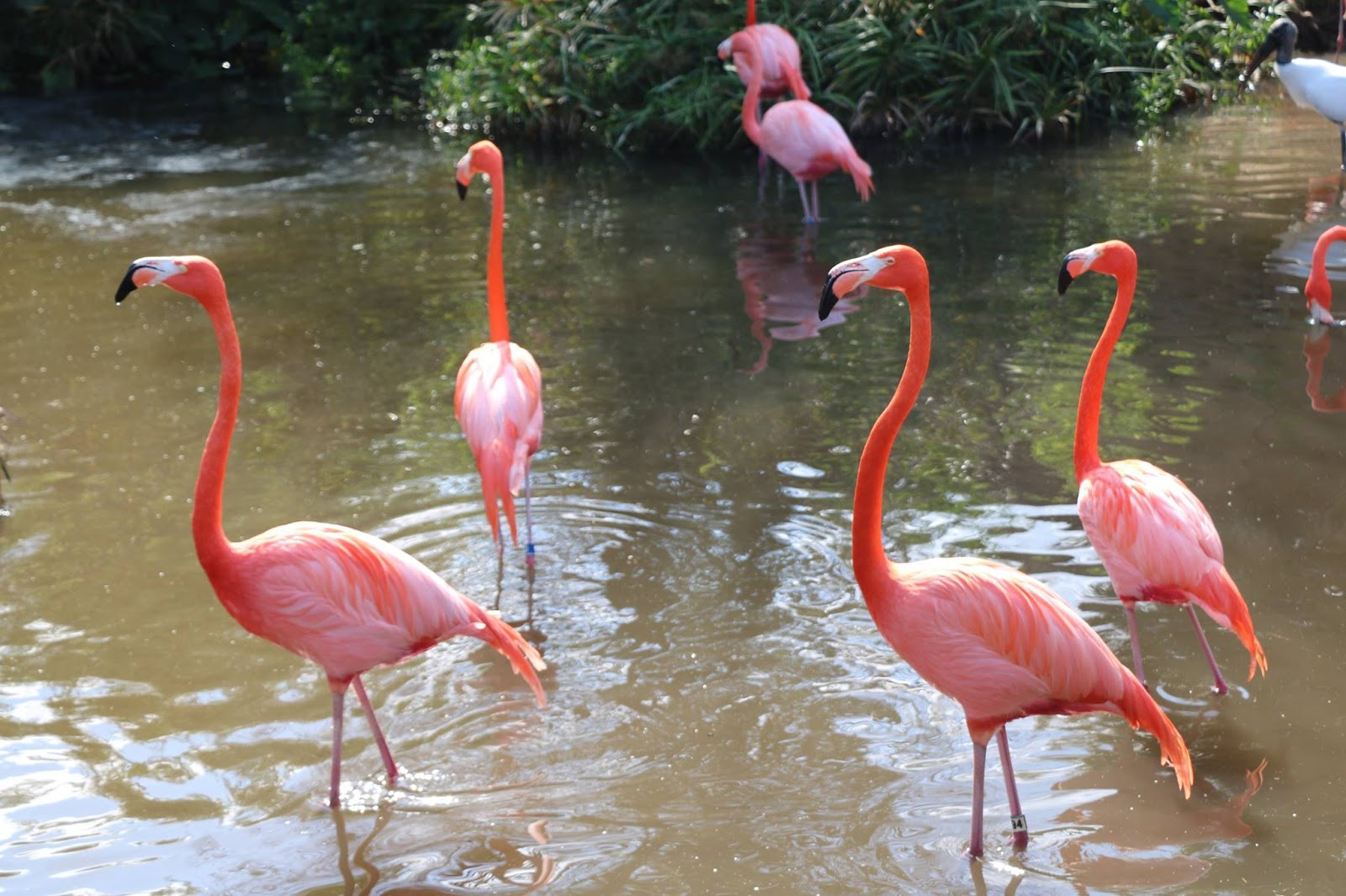 Flamingos in Florida