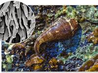 Clingfish, Si Juara Isap