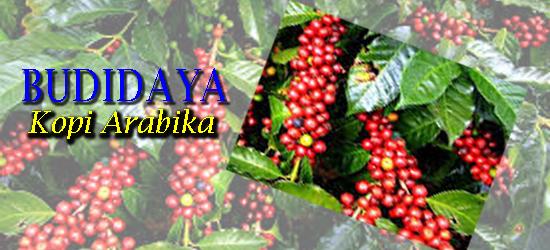 Cara menanam kopi arabika, budidaya kopi arabika yang baik dan benar, Tanaman Perkebunan, cara pembibitan kopi arabika, syarat tumbuh kopi arabika, cara menanam kopi agar cepat berbuah berbuah dan lebat,