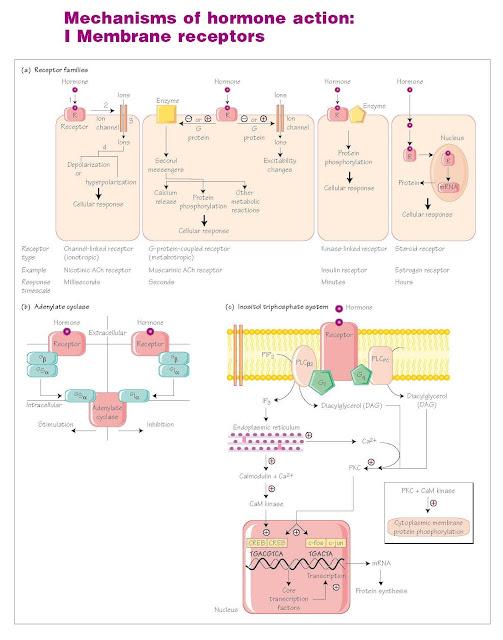 Mechanisms Of Hormone Action: I Membrane Receptors, Clinical background, Membrane receptors, G protein linked receptors, Receptor antagonists