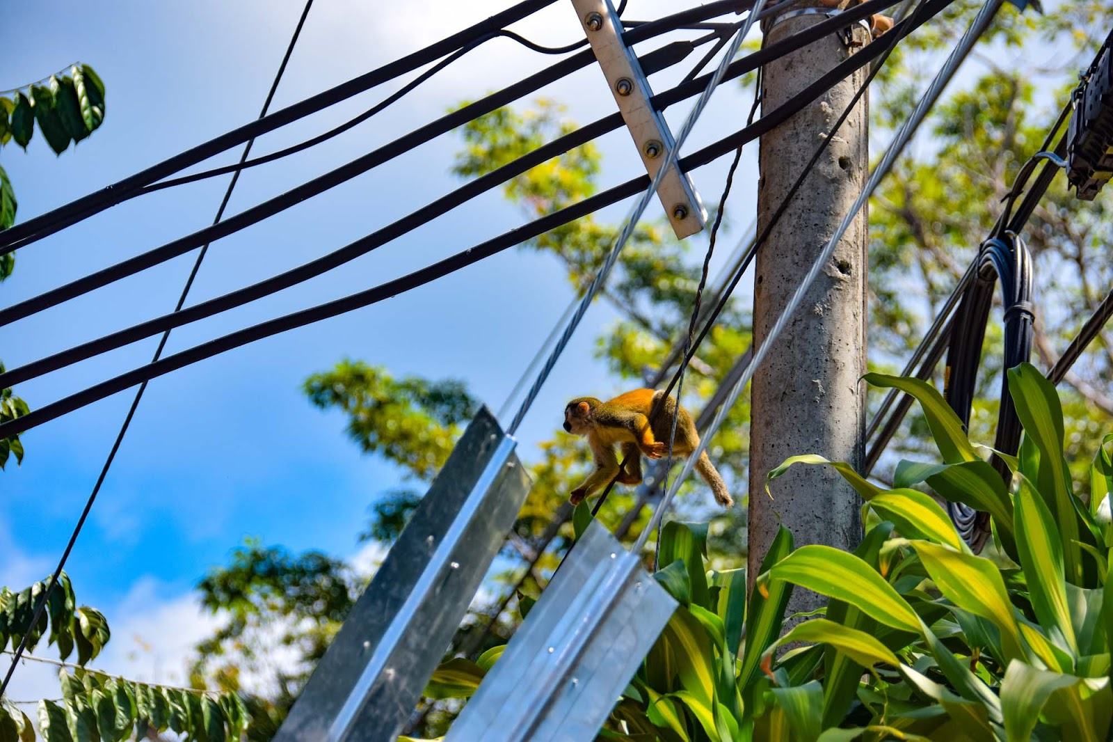 monkey on the telephone lines in costa rica