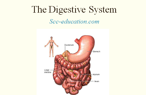 the digestive system ,scceducation.com ,biology, sharma sir ,mouth,salivary ,enzyme,