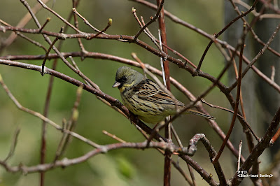 アオジ ≪Black-faced Bunting≫