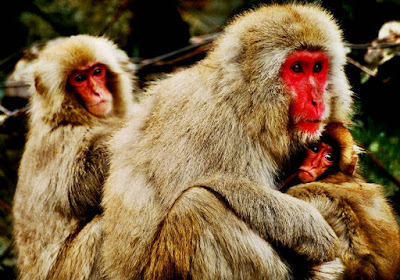 Japanese Macaque - cool animal names that start with j