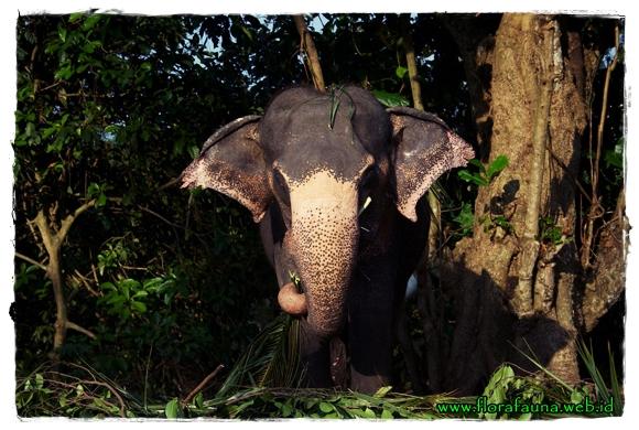 Dunia Binatang Deskripsi Gajah Asia