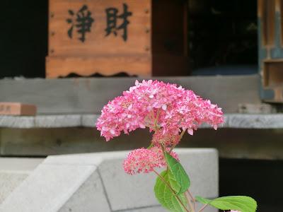 佛日庵のアナベル