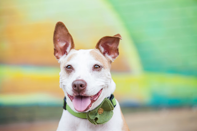 A happy pit bull dog in front of a mural