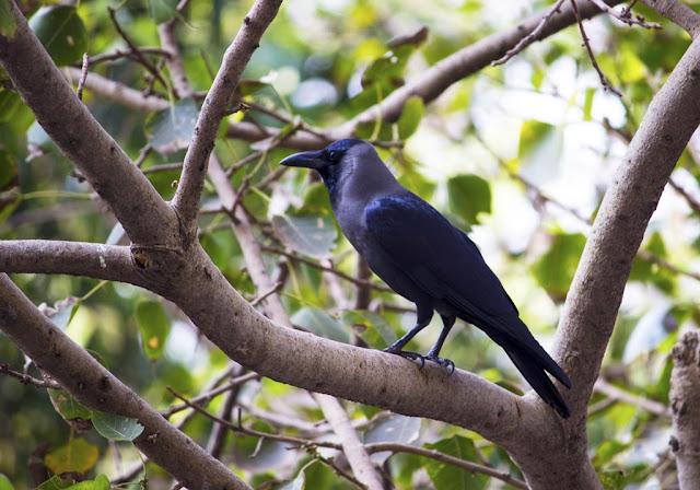 house crow, indian crow, greynecked crow, tree, bandra east, mumbai, india, Ficus religiosa, peepal tree,