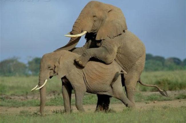 Foto Gajah Kawin Unik Super Lucu ~ Kumpulan Berita Aneh