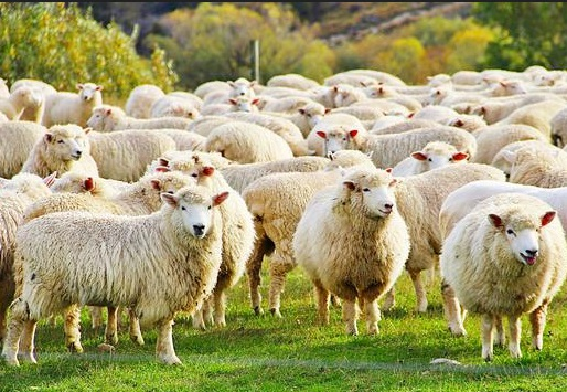 Cara memilih bibit domba, domba