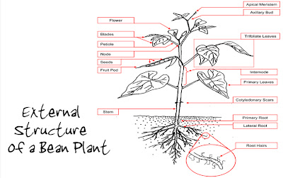 Bean Seedling Diagram Leviton Single Pole Switch With Pilot Light Wiring My Cute Baby Plants Young Plant Structure And Function Root Hairs A Hairlike Outgrowth Of That Absorbs Water Minerals From The Soil Are Tubular Extentions Epidermis