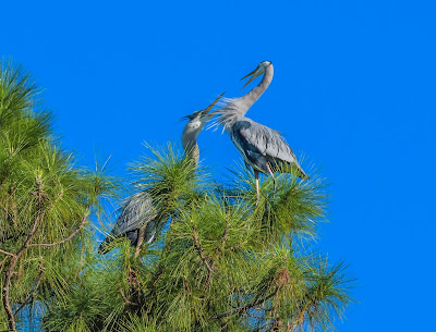 Great blue heron dueling