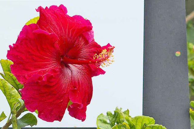 red flower, white background