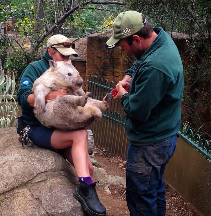 21 Cute Pictures Of Animals That Can Make Even The Worst Day A Bit Better - Manicure for a wombat