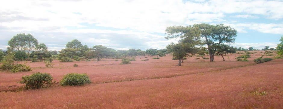 Đồi cỏ hồng ĐăkĐoa