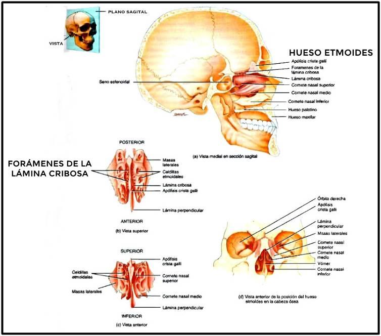 Huesos maxilares