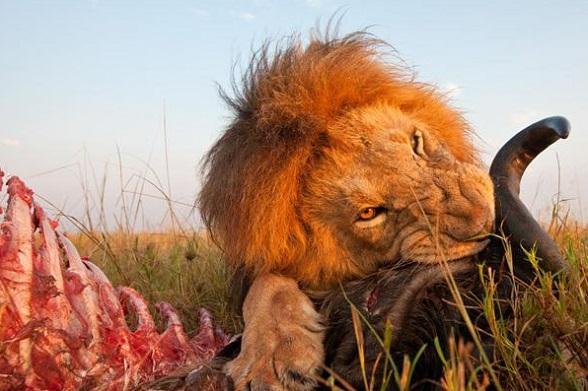 Un león comiendo