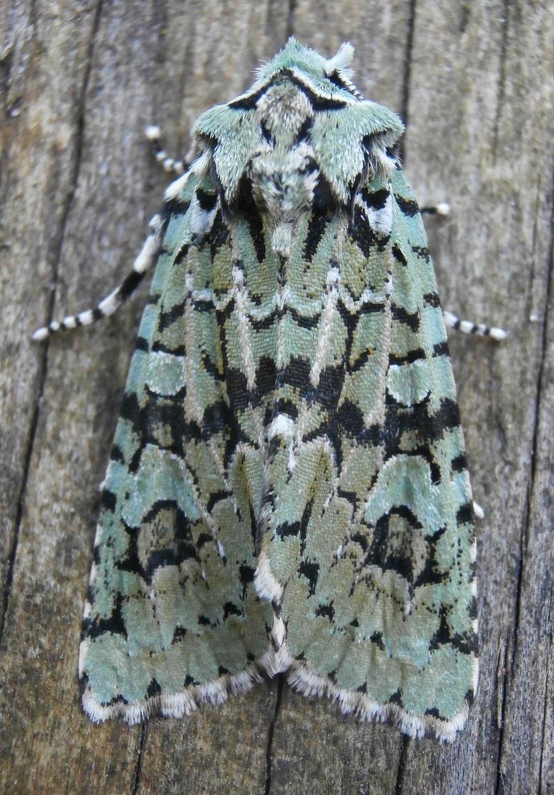 the curious naturalist norfolk moths rockland st peter garden 6 october 2013. Black Bedroom Furniture Sets. Home Design Ideas