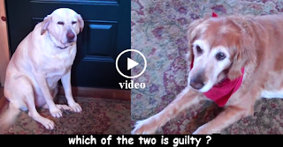 Guilty Dog - Funny Videos