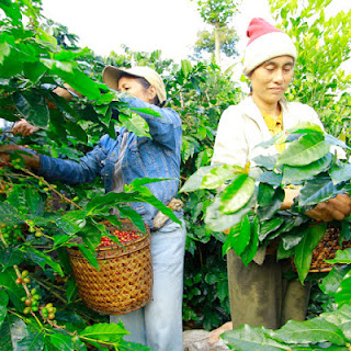 All about bali Arabica Coffee Kintamani