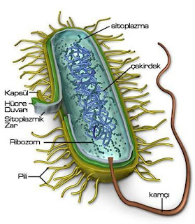 Pengertian, Struktur dan Bentuk Eubacteria (Bakteri)
