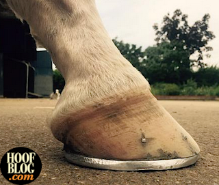 California Chrome right front foot after bar shoe applied