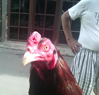 Inilah 2 Obat Ayam Pilek yang Sangat Ampuh untuk Ayam Bangkok Kesayangan Anda