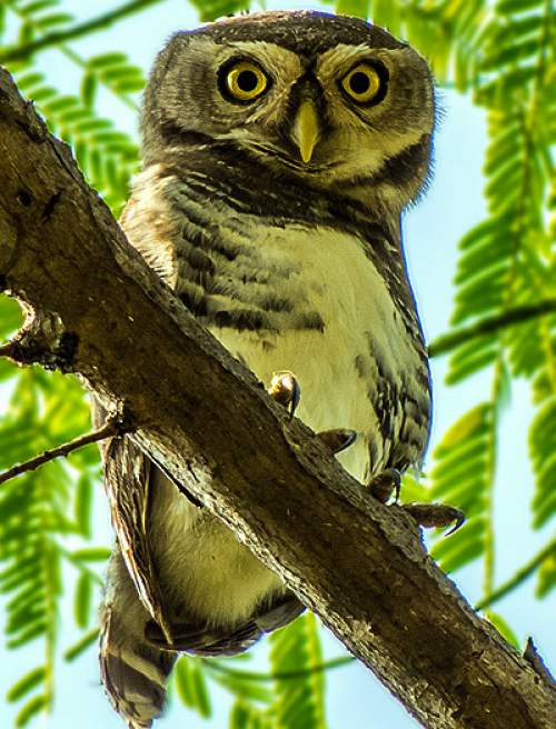 Birds of India - Photo of Forest owlet - Heteroglaux blewitti