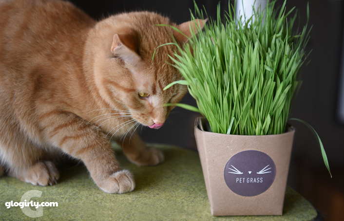 Waffles Kitty licking his Whisker Greens pet grass