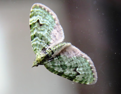 HenSafe Smallholding. Mint Moth.