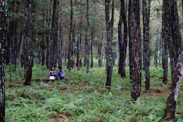 Hutan Pinus Songgon Banyuwangi Wisata Hutan Dengan Konsep Spot